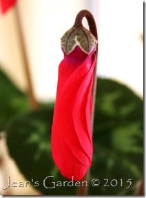 scarlet cyclamen bud
