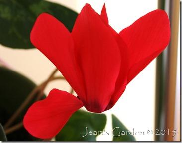 scarlet cyclamen flower