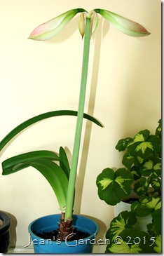 unknown amaryllis