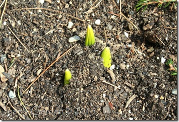 new growth daffodils