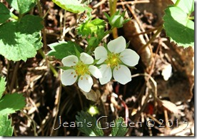 strawberry blossoms 2015