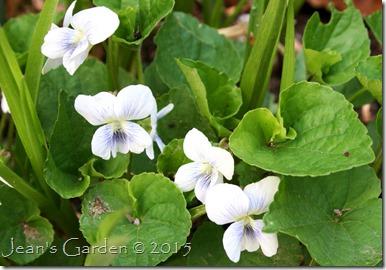 white violets 2015