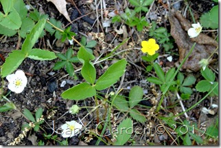 wildflower barren strawberry