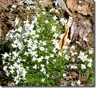 wildflower bluets