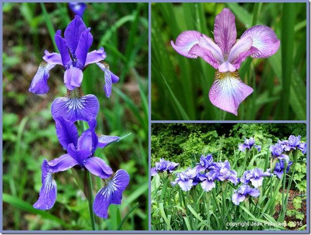 Irises 2015