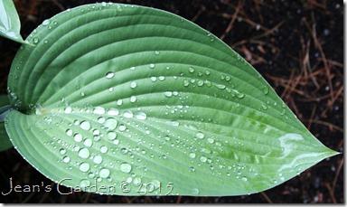 raindrop nigrescens