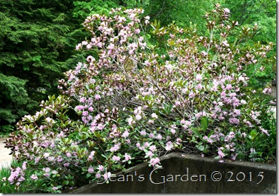 rhododendron exuberance