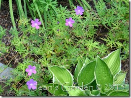 geranium nimbus
