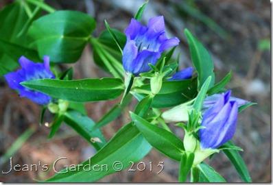plainview blue gentian