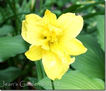 semi-double yellow daylily