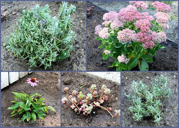 Lavender Walk plants_1