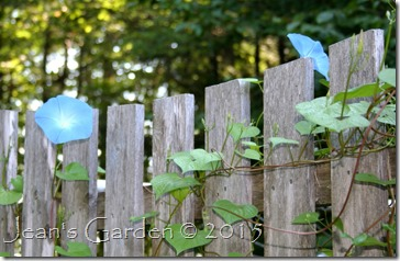 morning glories on fence
