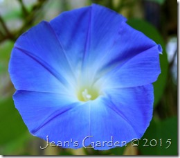 morning glory blue