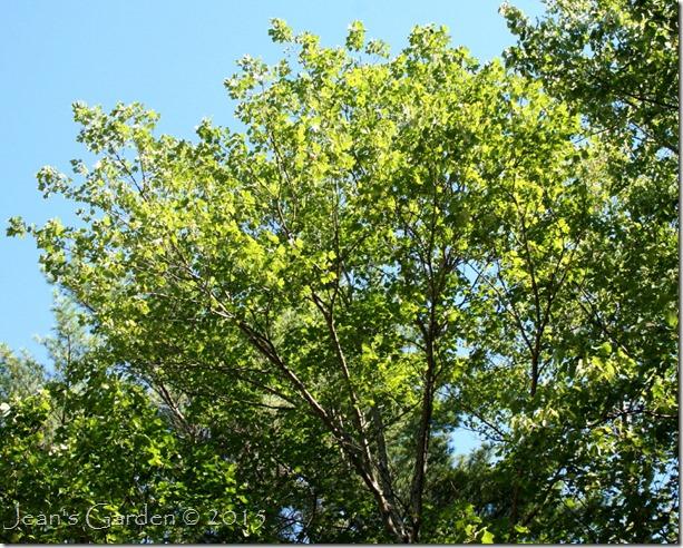 red maple canopy september