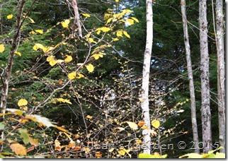 hamamelis in woods1