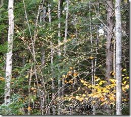hamamelis in woods2