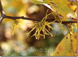 hammamelis flowers