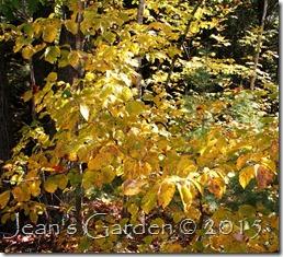 hammamelis foliage
