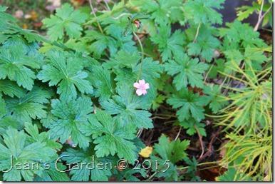 october geranium