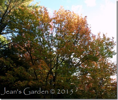 red maple fall