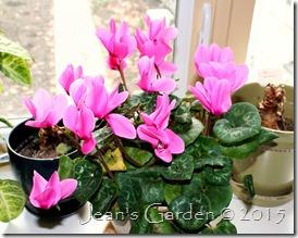 November pink cyclamen