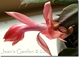 Thanksgiving cactus flower