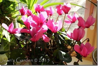 pink cyclamen December