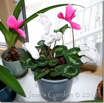 pink and white cyclamen 2016