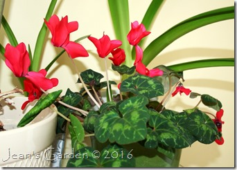 red cyclamen 2016