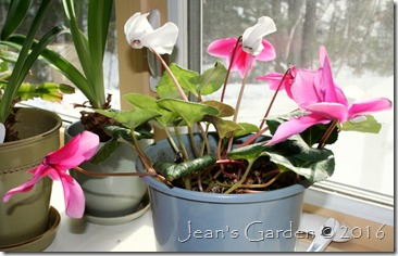 pink & white cyclamen Feb 2016