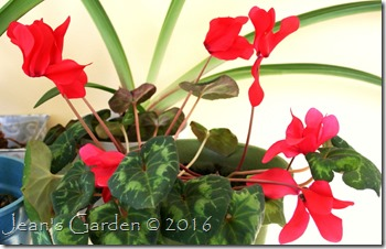 red cyclamen Feb 2016