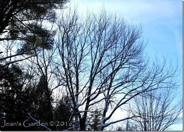 winter maple canopy