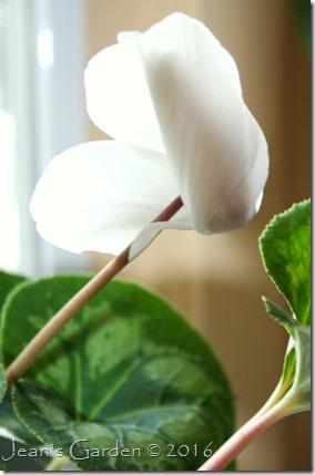 white cyclamen last flower