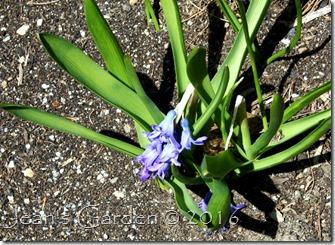 broken neck hyacinth