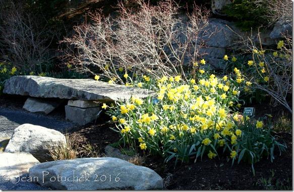 daffodils CMBG