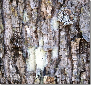 red maple bark w lichens1