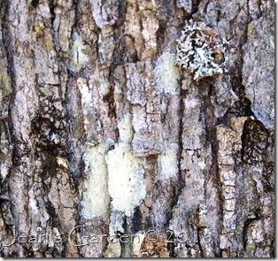 red maple bark w lichens1