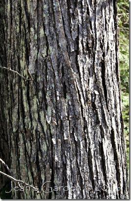 red maple bark