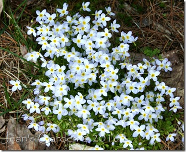 bluets clump2
