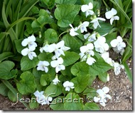 sweet white violets clump