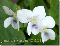 sweet white violets flowers