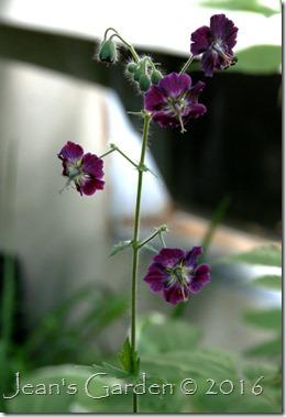 Geranium phaeum flowers