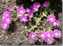 ice plant blooms