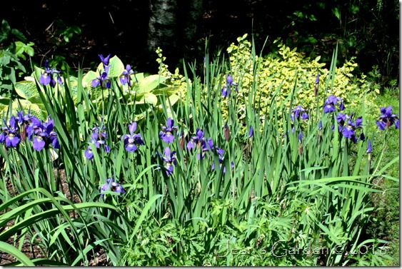 pass-along irises