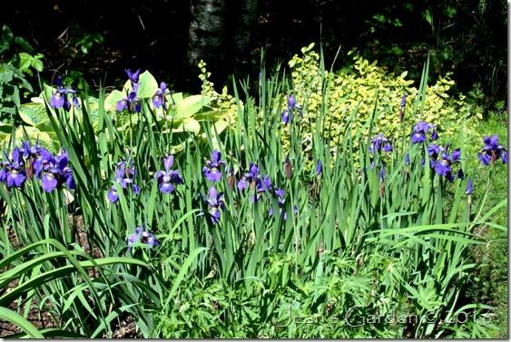 pass-along irises