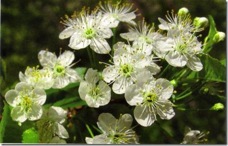 pin cherry flowers