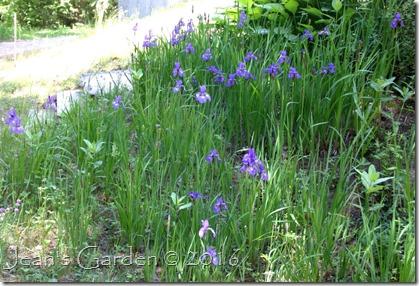 self-sown irises