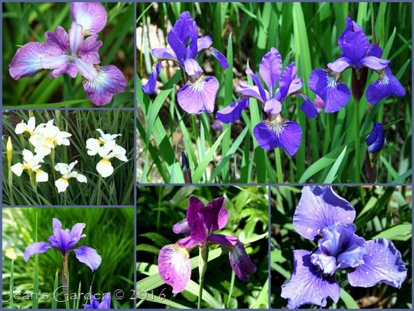 Siberian irises 2016_1