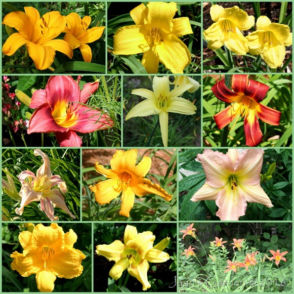 early daylilies 2016