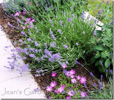 lavender & ice plant2